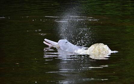 Delfines rosados