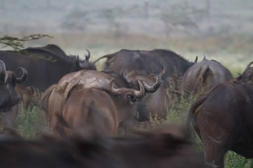Bufalos en el  safari