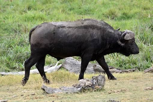 Bufalo en Amboseli