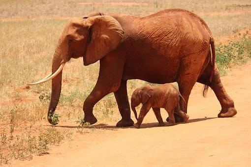 En el parque de Tsavo pasean los elefantes