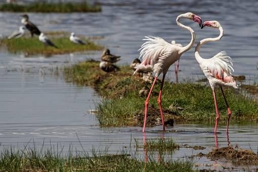 Magnificos flamencos en el lago Nakuru