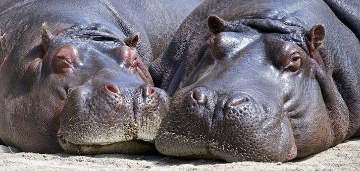 Hipopotamos al sol