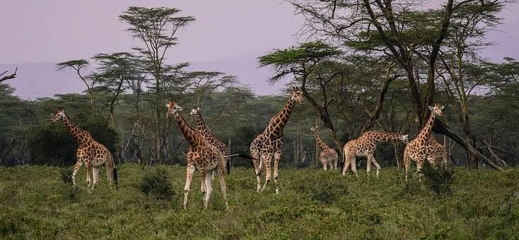 Fotografiar jirafas en el safari