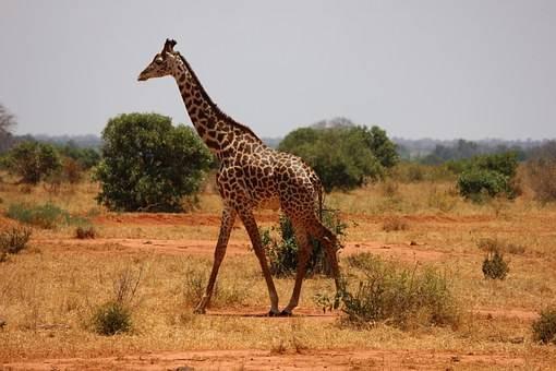 Veremos jirafas en nuestro safari