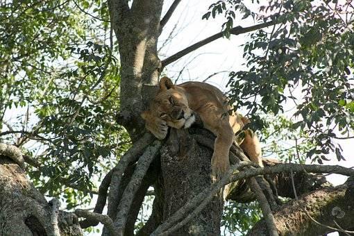 Leona descansa junto al lago Nakuru