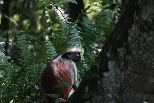 Zanzíbar y sus monos caracteristicos