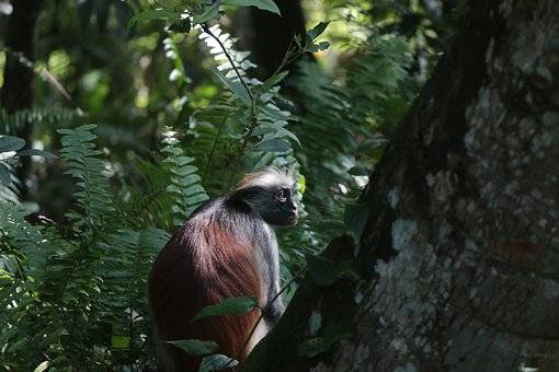 Monos de Zanzíbar