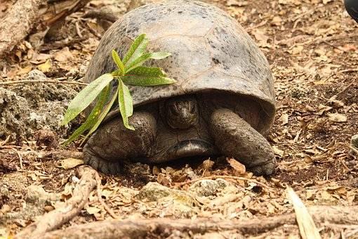 Tortugas en isla Mauricio