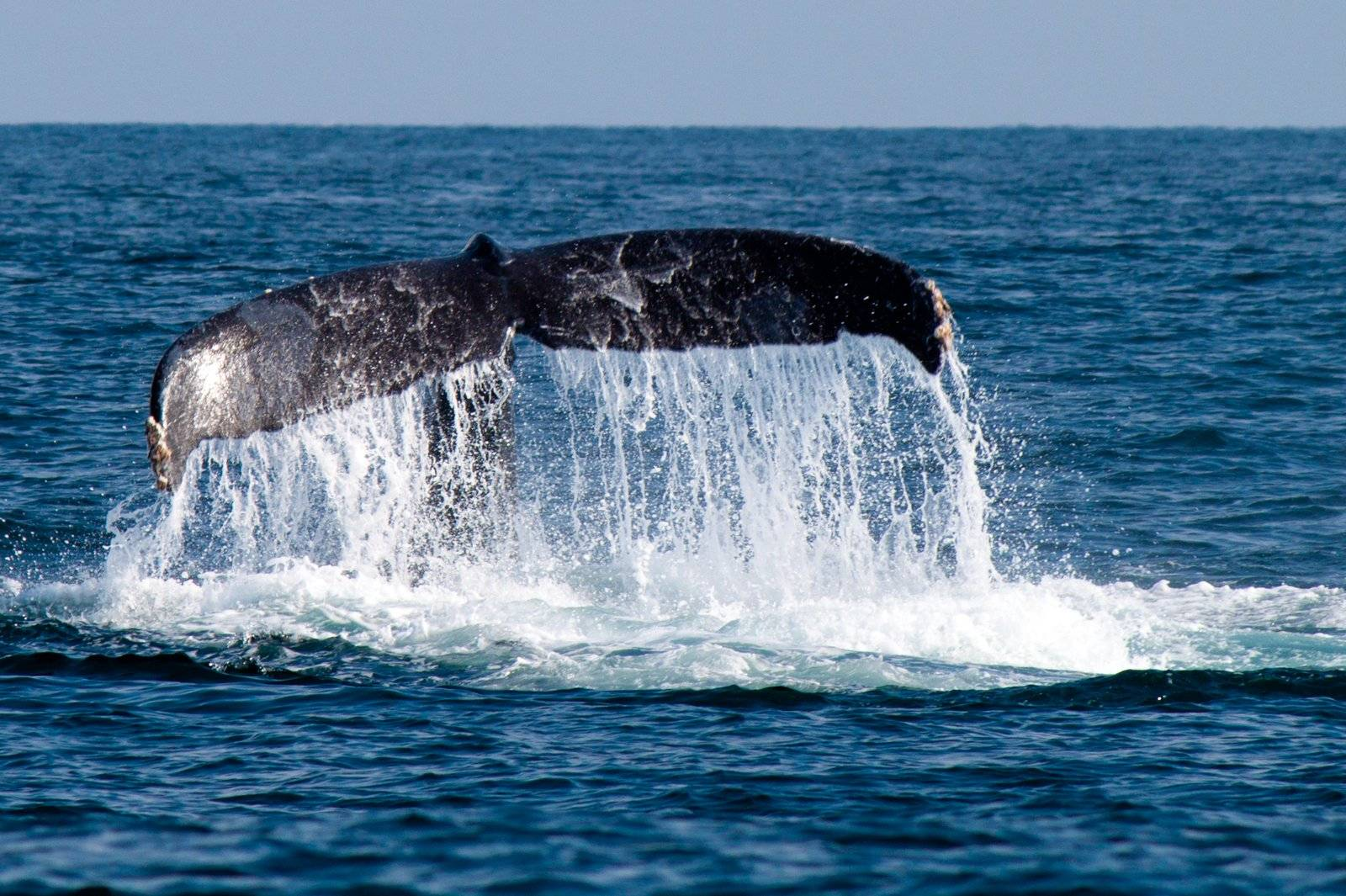 Ballenas gigantes – Isla de São Miguel