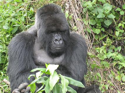 Gorila de Ruanda