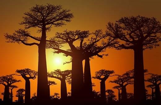 BAOBABS , TÍPICOS DE ÁFRICA