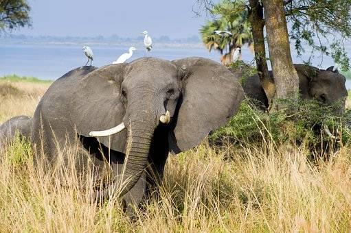 ELEFANTE FELIZ EN UGANDA