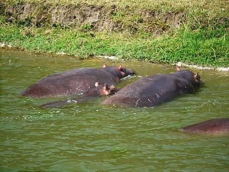HIPOPOTAMOS CANAL KAZINGA